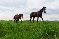 12.4.2016, Pferde auf der Weide. Marl. 022MK120416Marl.JPG. (Pferd, Pferde, Pferdeherde, Jaehrlinge, Weide, Graskoppel, Koppel, Stute, Stuten). [Copyright (c) Marius Schwarz, Fotograf,Mobil: 0049(0)176 28 311 040, Web: www.traberpixx.de, e-mail: info@traberpixx.de, MODEL RELEASE YES - bei Verwendung des Fotos ausserhalb journalistischer Zwecke bitte Ruecksprache halten - Foto ist honorarpflichtig!]